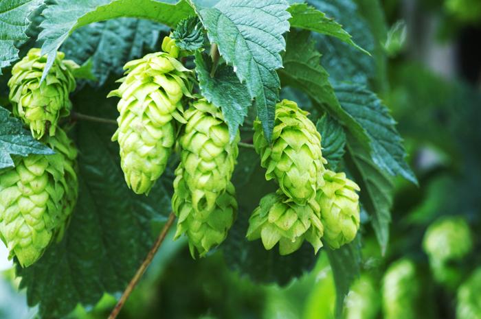 啤酒花中和麦芽的甜味,赋予迷人的苦涩。在巴氏消毒法应用前,啤酒花是天然防腐剂,防止啤酒腐坏或者变酸,并将贮藏时间提高到数年之久。 视觉中国图